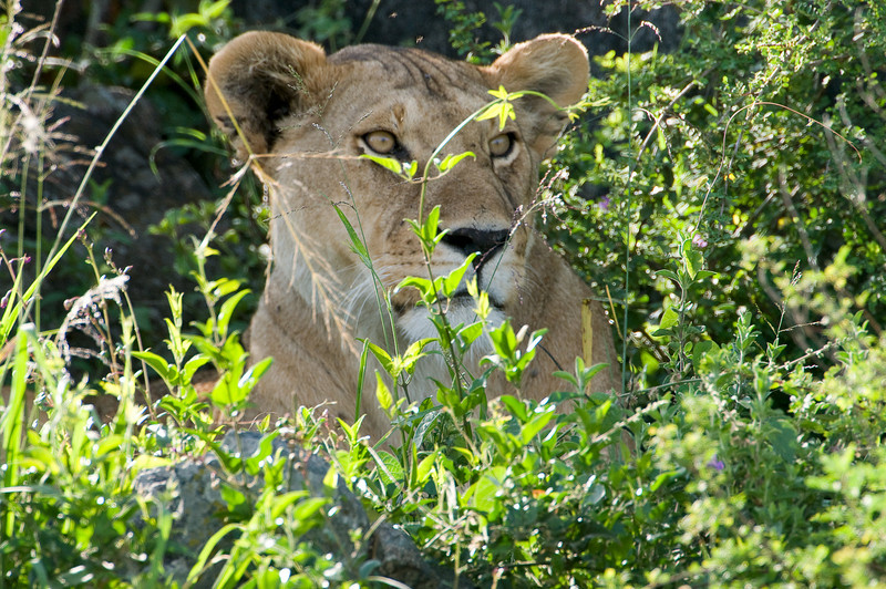 Lioness in the grass.