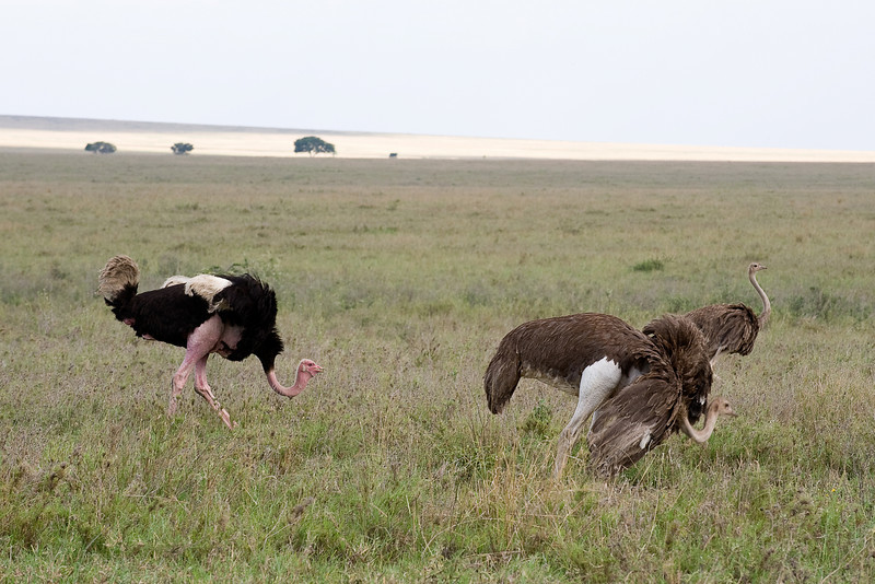 Male and two female ostrich - Struthio camelus