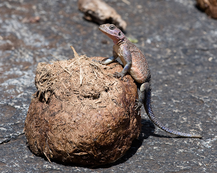 Female Agama lizard and elephant dung.