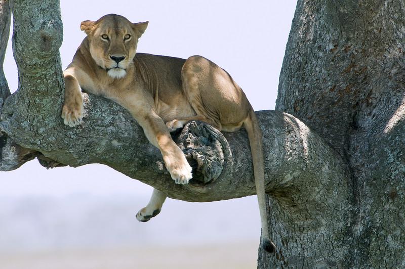 Tree climbing lion.