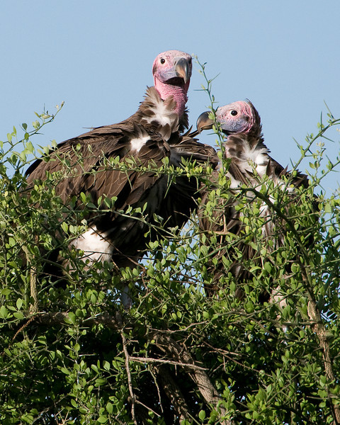 Lappet-faced vultures wait for the scraps.