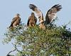 Tawny eagles await the lion's departure.