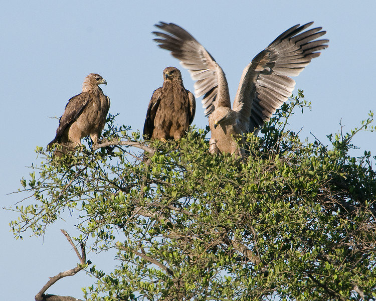 Tawny eagles await the lion's departure.