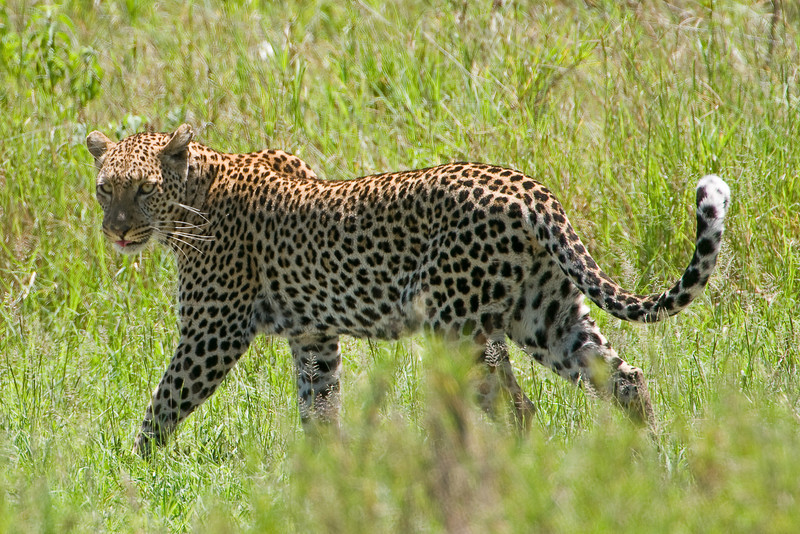 Leopard on the prowl.