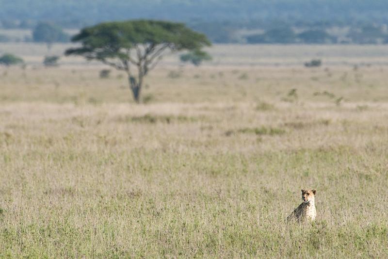 A still hungry cheetah.