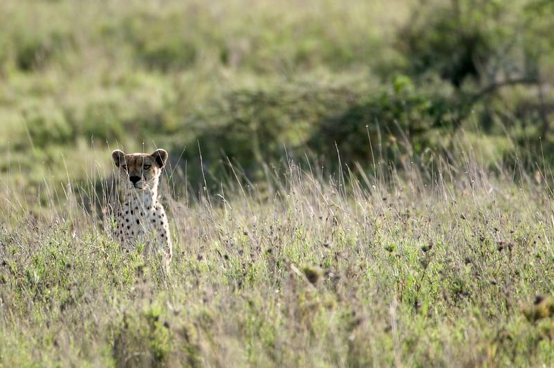 Cheetah watching a wildebeest.
