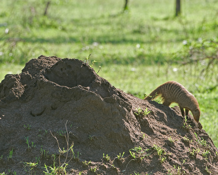 Mongoose hunts on a termite mound.