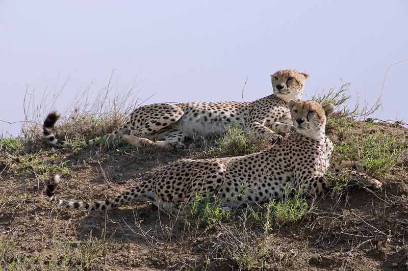 Cheetahs scan the plains for food from their hilltop perch.