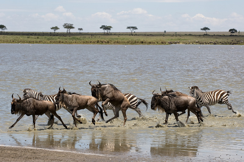 Wildebeest and zebras.