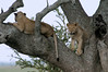 Tree climbing lions.