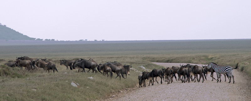 A wildebeest / zebra crossing.