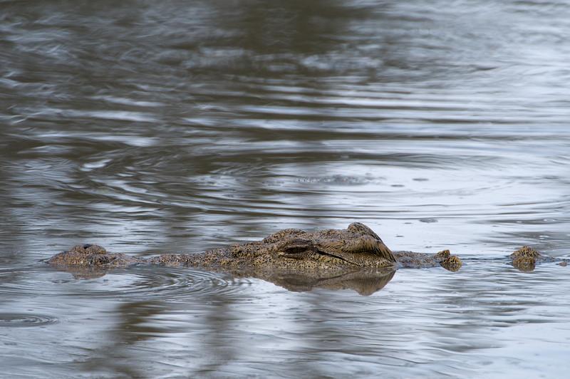A Nile Crocodile in the hippo pool.