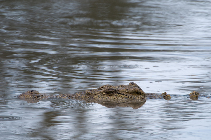 A Nile Crocodile in the hippo pool.