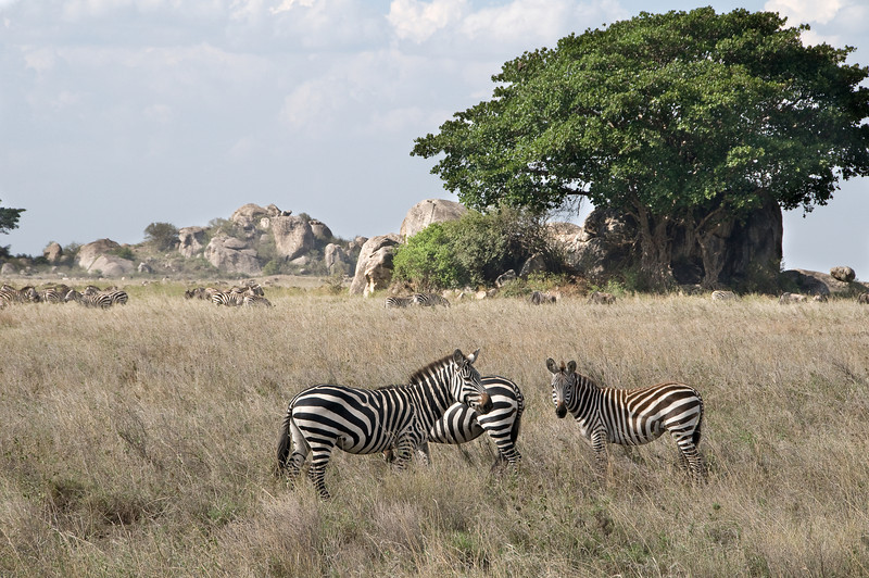Typical zebra pose.