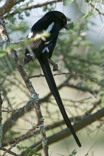 Magpie Shrike - Urolestes melanoleucus