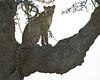 Tree-climbing leopard.