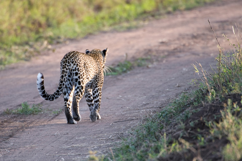 Leopard crossing.