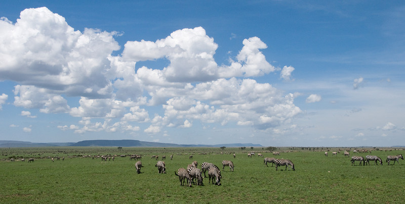 Zebras on the Serengeti.