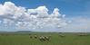Zebras on the Serengeti.