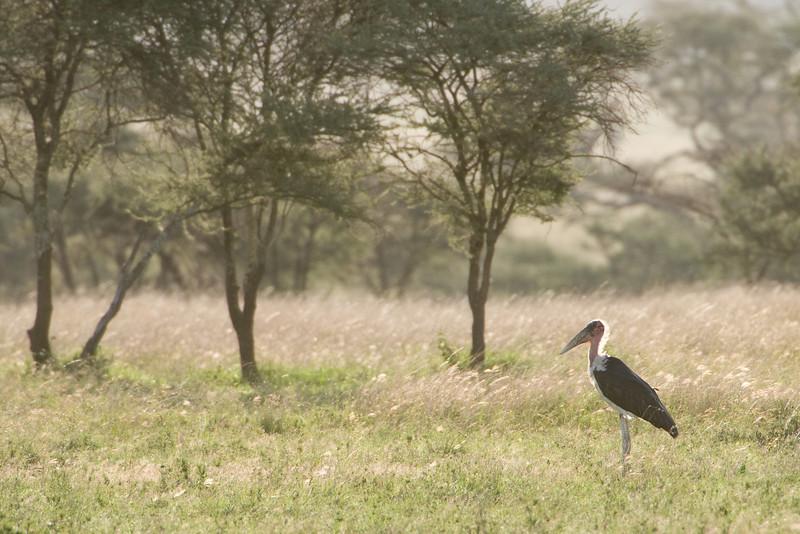Marabou stork at sunrise.