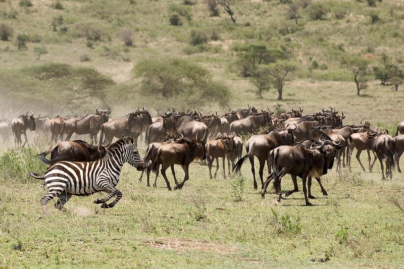 Wildebeest and zebra.