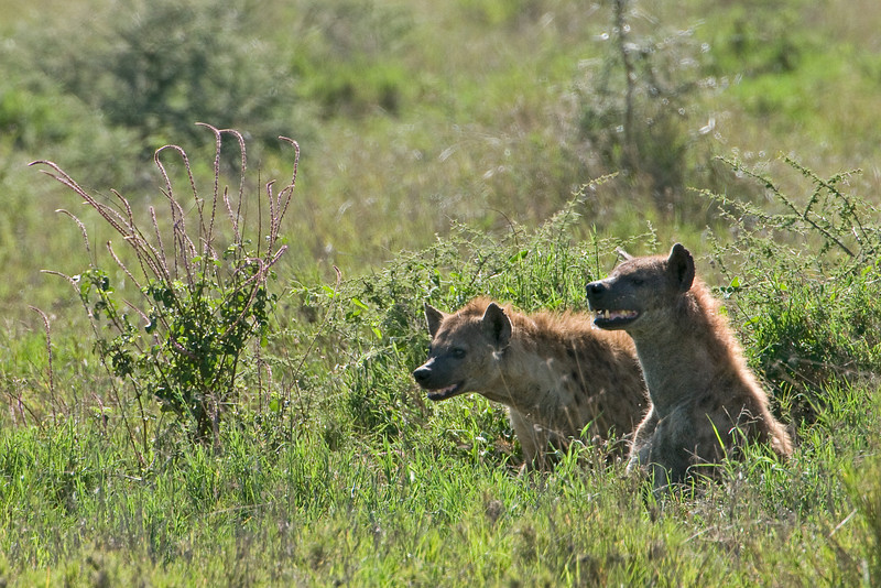 Two hyenas on the prowl.