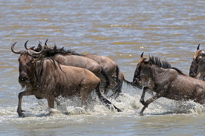 Wildebeest migration.