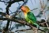 Fischer's loverbird - Agapornis fischeri