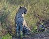 Leopard by the roadside.