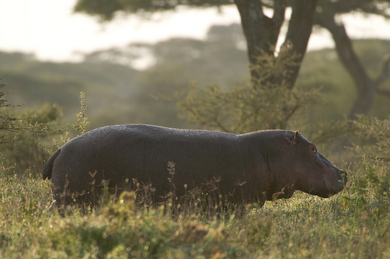 A hippo grazing out of the water at sunrise.