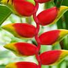 Ko Samui, Flower