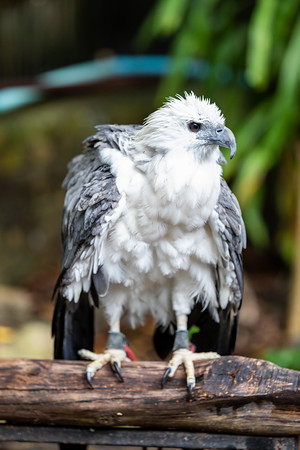 A White-bellied sea eagle soaked under rain in a zoo.