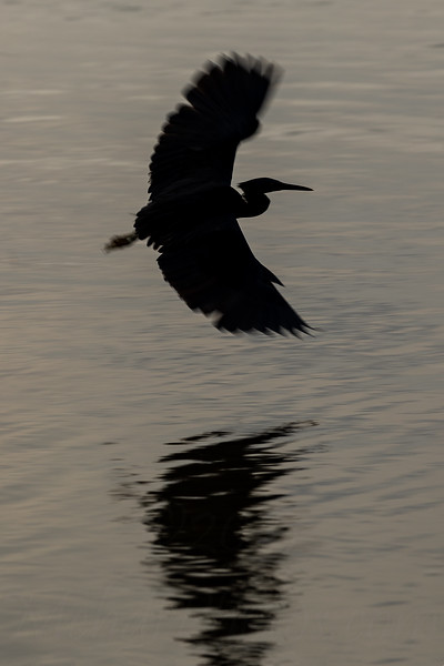 Silhouette of a pacific reef heron flying over a low tide pond in one of the Thailand beach.
