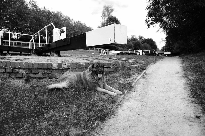 Estrela Mountain Dog Resting By The Canal