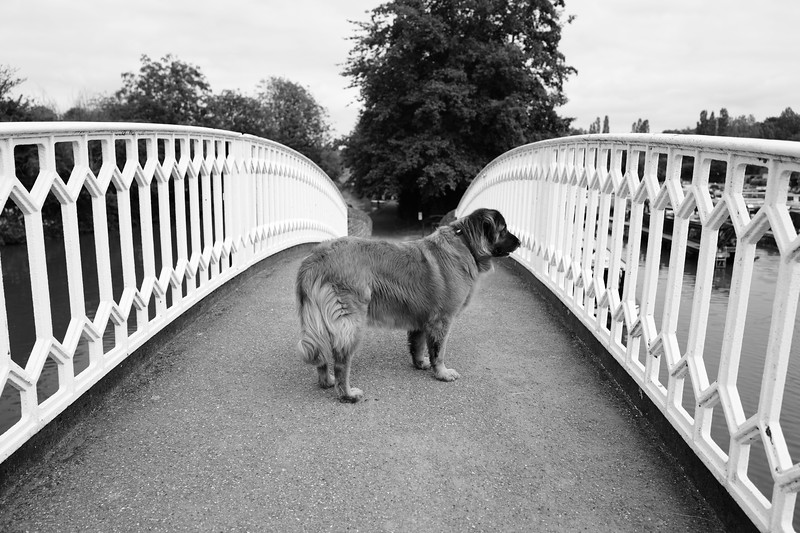 Dog On Bridge At Braunston