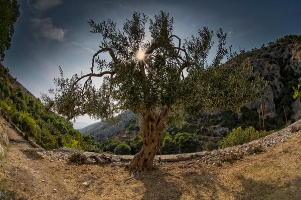 Alter Olivenbaum - Old olive tree