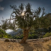 Alter Olivenbaum - Old olive tree