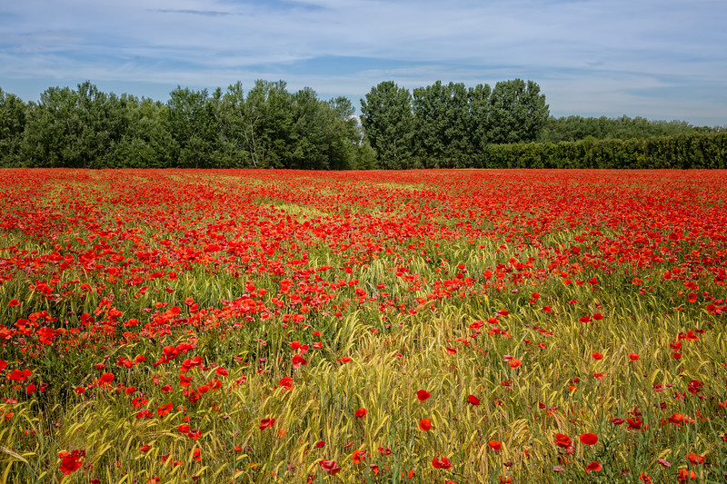 Poppies in the cornfield