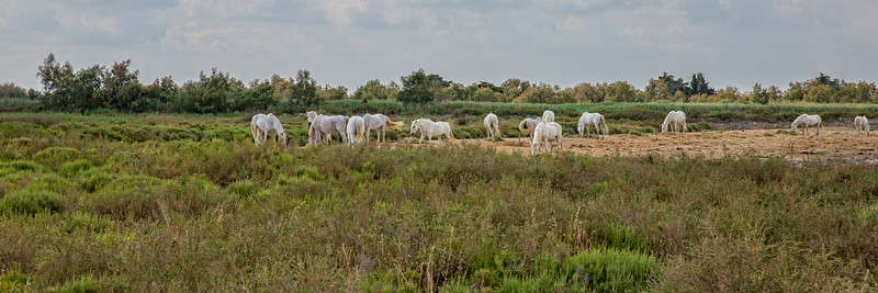 White Camargue horses grazing in the pasture