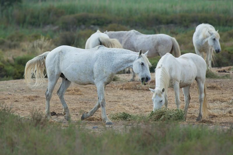 White Camargue horses grazing