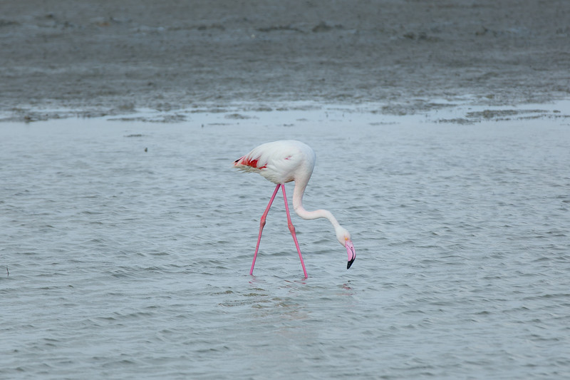 Pink flamingo in the Camargue