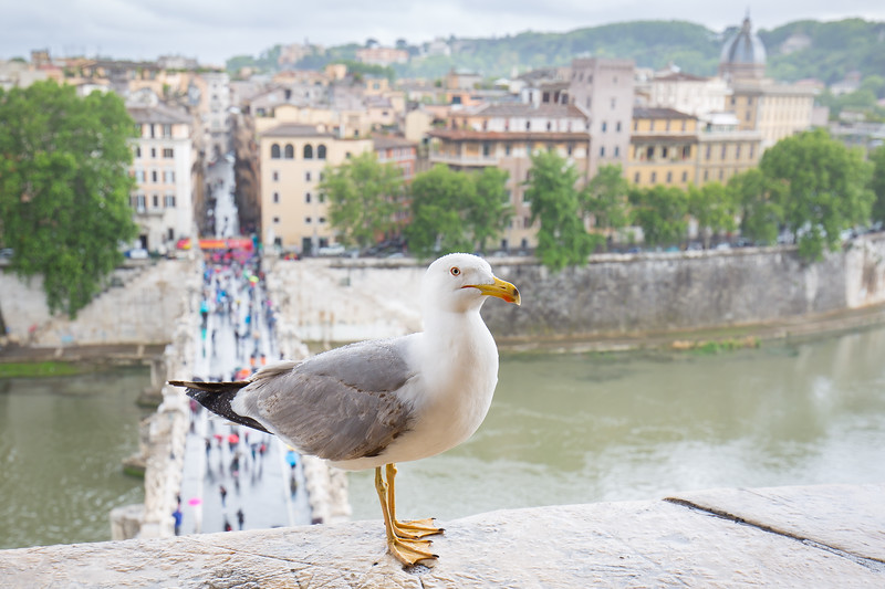 Seagull resting on Castel Sant'Angelo