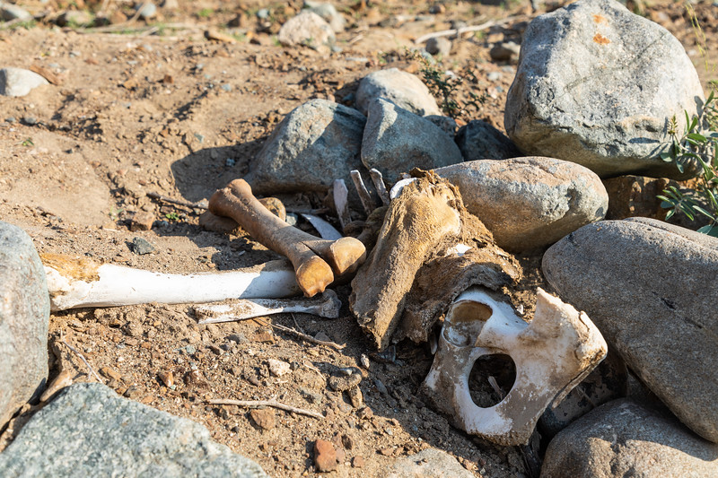 Caracas of a camel in desert with bones and pieces of skin visible.