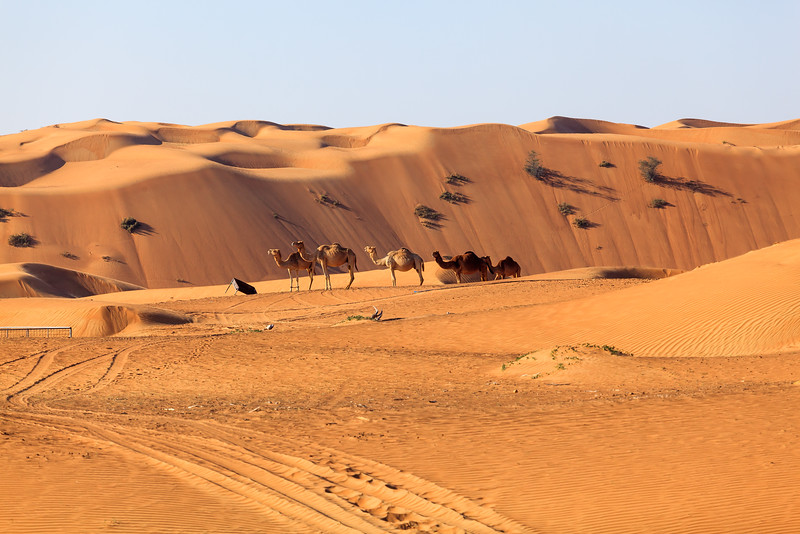 Camels in the desert in the morning sun of UAE.