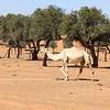 A white camel in the desert in the morning sun of UAE.