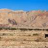 Lonely goat in the Shamal Julphar desert.