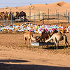 Camels are eating food in the desert in the afternoon sun of UAE.