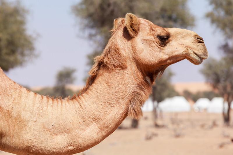 Camel in the desert in the morning sun
