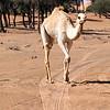 White camel in the desert in the morning sun of UAE.
