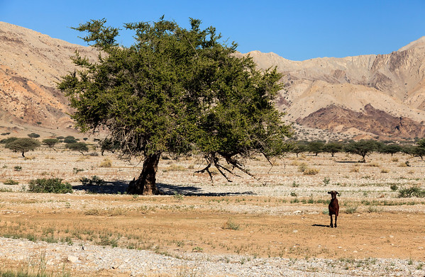 Lonely goat next to a tree in Shamal Julphar